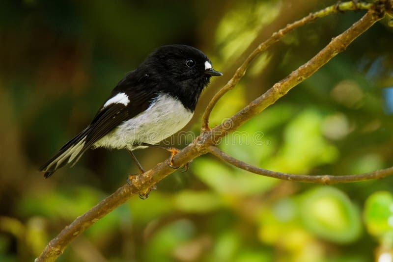 Petroica macrocephala toitoi -北岛Tomtit - miromiro地方性新西兰森林鸟坐分支在森林里 库存图片