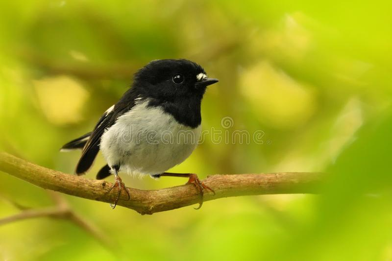 Petroica macrocephala toitoi - North Island Tomtit - miromiro - endemic New Zealand forest bird. Sitting on the branch in the forest stock photo