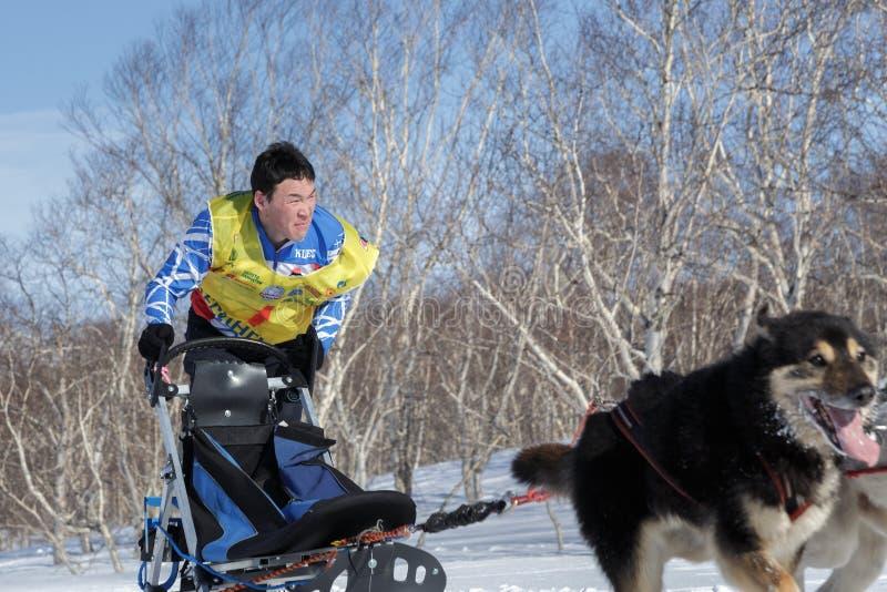 Running Kamchatka musher Vitaly Tishkin. Kamchatka Sled Dog Racing Beringia, Russian Cup of Sled Dog Racing snow disciplines stock photo
