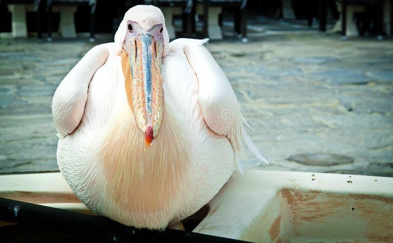 Petros o pelicano, Mykonos imagens de stock