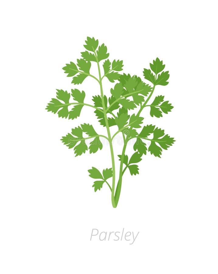 Εγκαταστάσεις μαϊντανού Petroselinum crispum r Καλλιεργημένος ως χορτάρι, καρύκευμα, και λαχανικό διανυσματική απεικόνιση