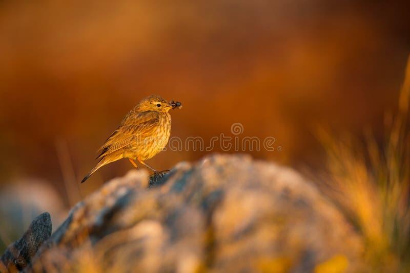 Petrosus Anthus Νησί Runde Άγρια φύση της Νορβηγίας Όμορφη εικόνα Από τη ζωή των πουλιών Ελεύθερη φύση Νησί Runde στη Νορβηγία στοκ εικόνες