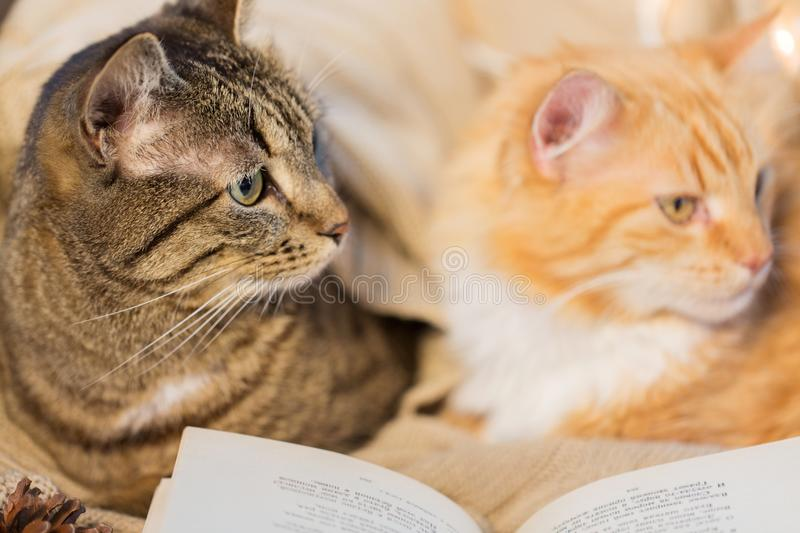 Two cats lying on sofa with book at home stock photo