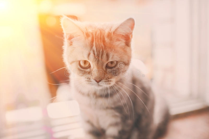Pets, close up of unhappy angry scottish fold kitten on home background stock image