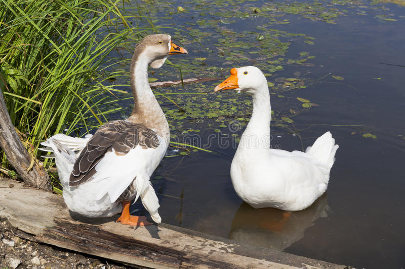 Pets geese royalty free stock images