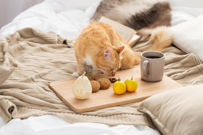 Red tabby cat sniffing food on bed at home stock photos