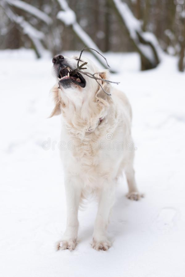 Pets in nature - a beautiful golden retriever nibbles on the stick in a winter snow-covered forest royalty free stock photography