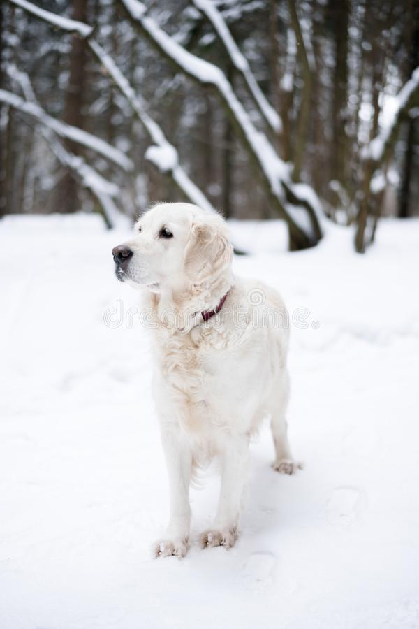 Pets in nature. portrait of a beauty dog. a beautiful golden retriever stay in a winter snow-covered forest. royalty free stock photography