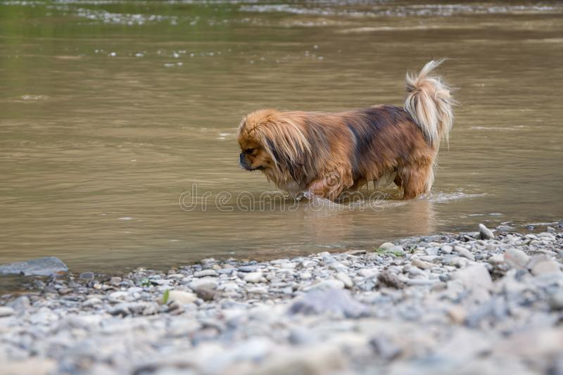 Pets are rescued from the heat, the dog is cooled in a mountain river.  stock photos