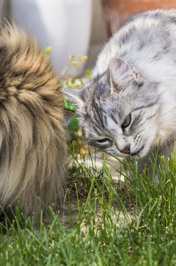 Nice cats eating outdoor, siberian purebred male pet. Pets from siberian livestock. Adorable domestic cats eating grass outdoor. Gorgeous pet brown tabby and royalty free stock photos