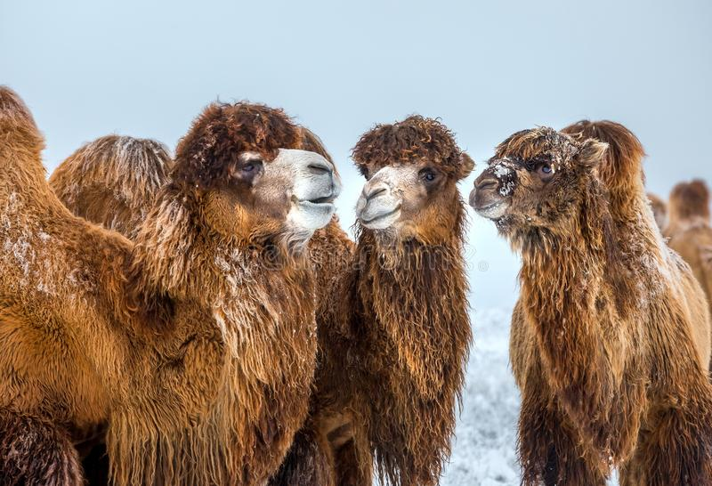 Portrait of a camel. Camels in the winter Stavropol steppe. royalty free stock images