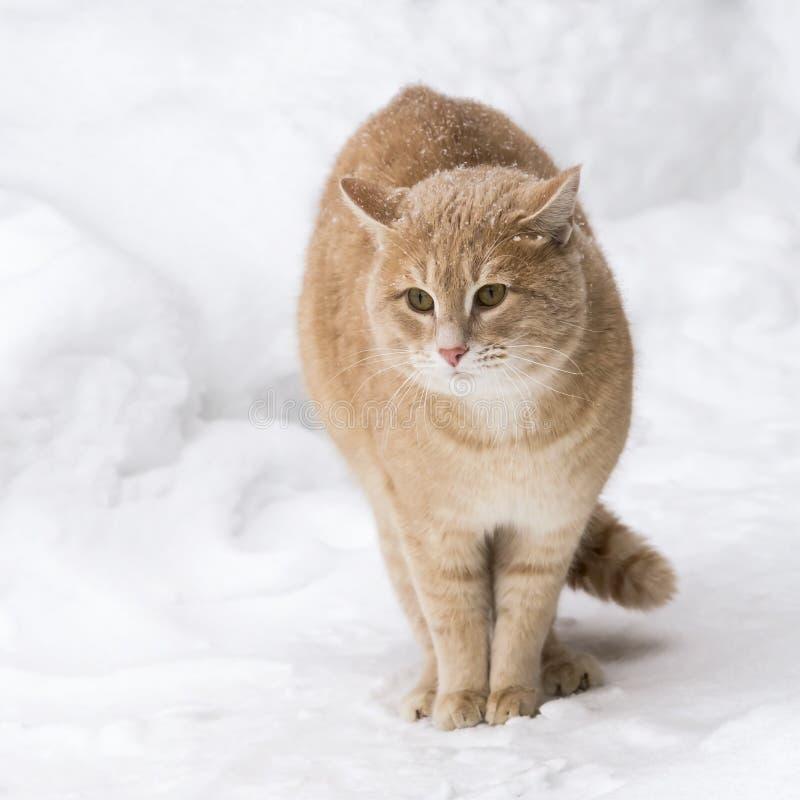pets Un chat rouge pendant l'hiver dehors dans les chutes de neige se repose parmi les congères par temps neigeux photographie stock