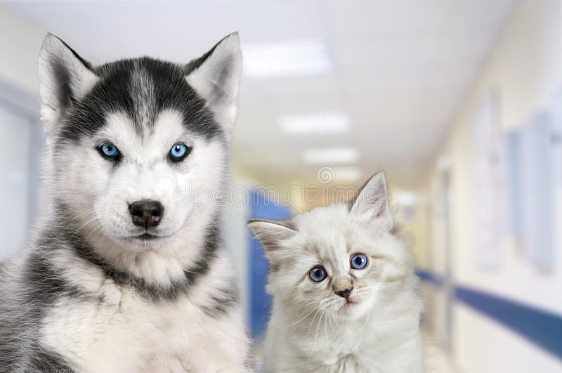 Pets at the veterinary clinic. Dog and cat in front of the blurred hospital background royalty free stock photos