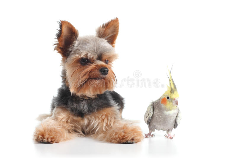 Pets yorkshire terrier puppy and cockatiel bird posing together stock photo