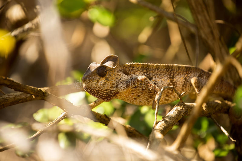 Petter`s Chameleon, Furcifer Petteri is relatively abundant in the coastal areas of northern Madagascar. The Petter`s Chameleon, Furcifer Petteri is relatively stock photos