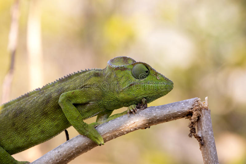 Petter`s Chameleon, Furcifer Petteri is relatively abundant in the coastal areas of northern Madagascar. The Petter`s Chameleon, Furcifer Petteri is relatively stock photography