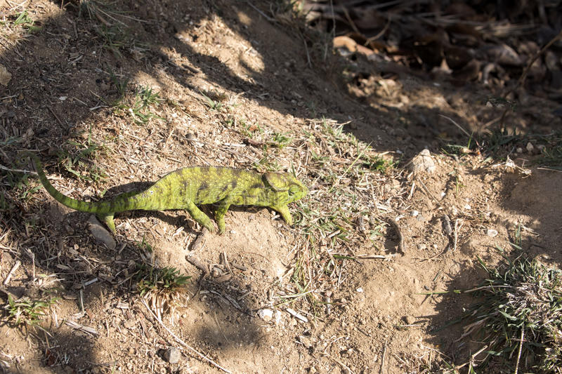 Petter`s Chameleon, Furcifer Petteri is relatively abundant in the coastal areas of northern Madagascar. The Petter`s Chameleon, Furcifer Petteri is relatively stock image
