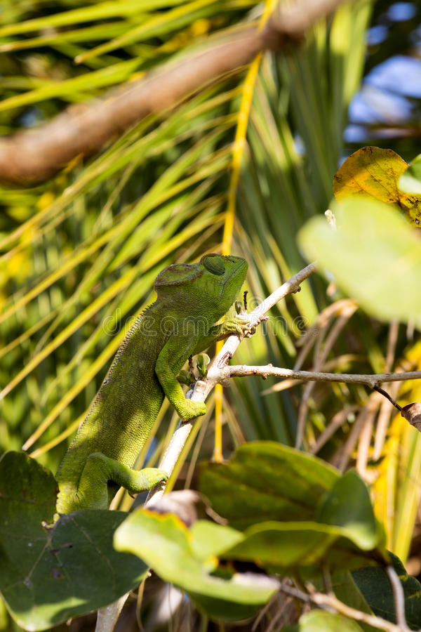 Petter`s Chameleon, Furcifer Petteri is relatively abundant in the coastal areas of northern Madagascar. The Petter`s Chameleon, Furcifer Petteri is relatively royalty free stock photography