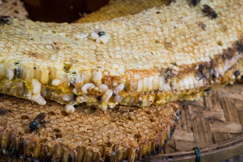 Pettine del miele con le larve dell'ape immagine stock