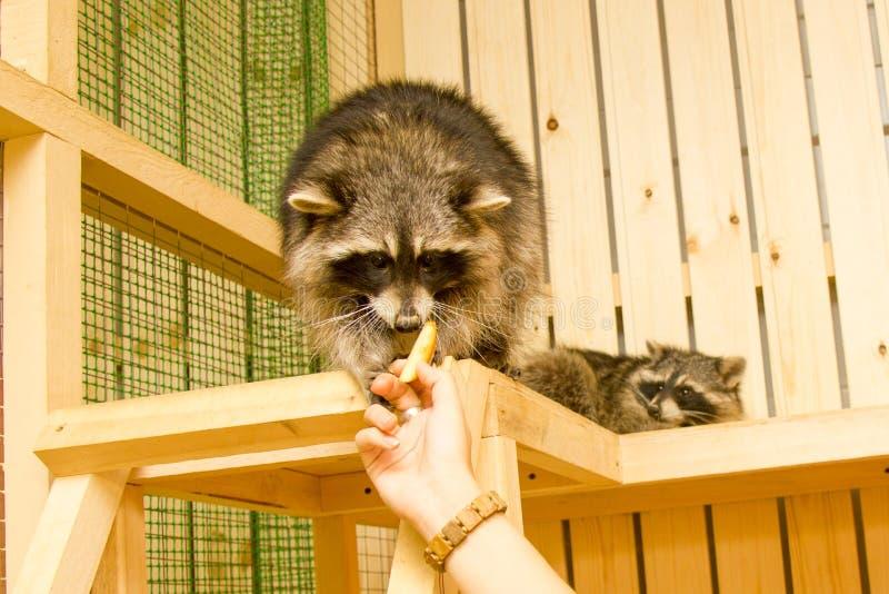 Petting ζωολογικός κήπος ρακούν στοκ εικόνες