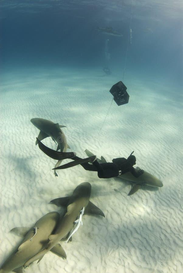 Petting dello squalo di limone immagini stock