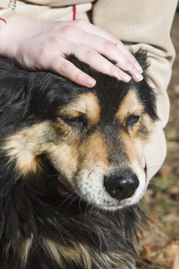 Petting a friendly dog. A close up view of a friendly dog having its head rubbed and petted royalty free stock photos