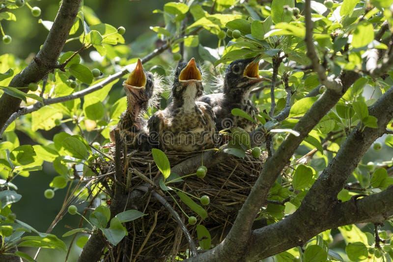 Pettiross del bambino in un nido immagini stock libere da diritti