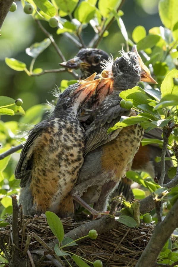 Pettiross del bambino in un nido fotografia stock