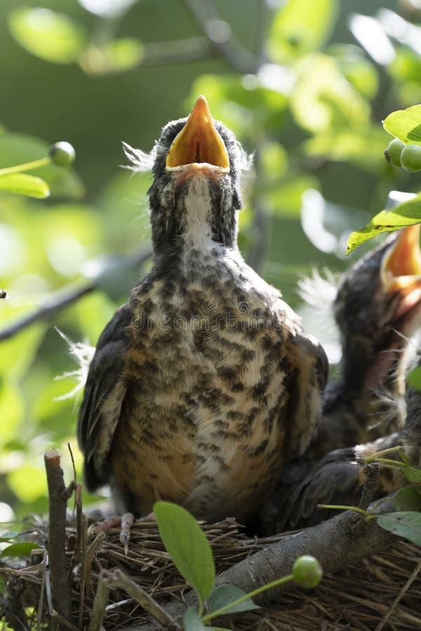 Pettiross del bambino in un nido fotografia stock libera da diritti