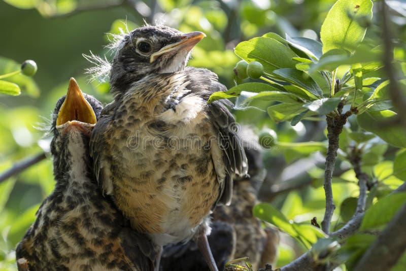 Pettiross del bambino in un nido fotografie stock libere da diritti