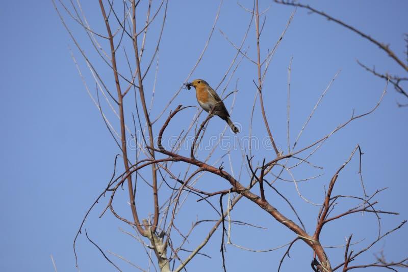 Pettirosso inglese in albero con l'insetto nella bocca del becco nel cielo blu di primavera fotografia stock