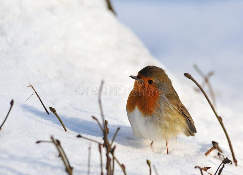 Pettirosso sveglio su neve in inverno fotografie stock libere da diritti