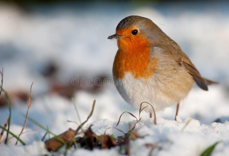 Pettirosso sveglio su neve in inverno immagini stock libere da diritti
