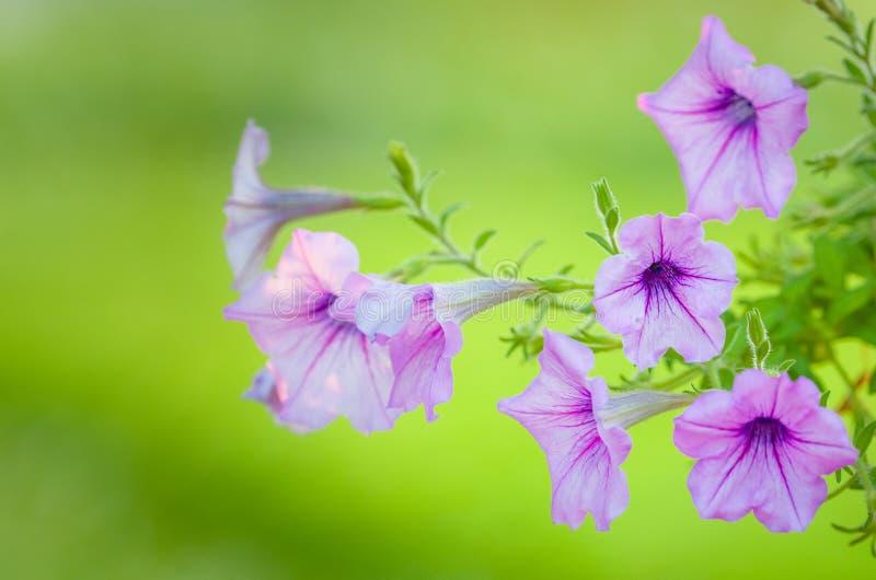 Pettunia purpurfärgade härliga blommor royaltyfri bild