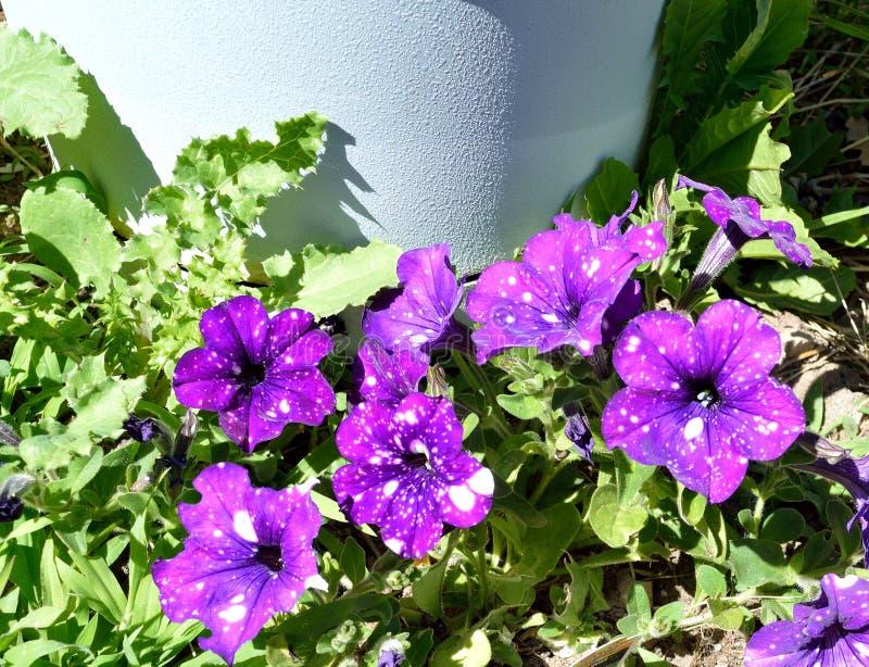 Night Sky or Starry Night Petunia plant closeup royalty free stock photo