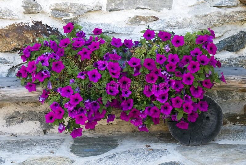 Petunia royalty-vrije stock afbeelding