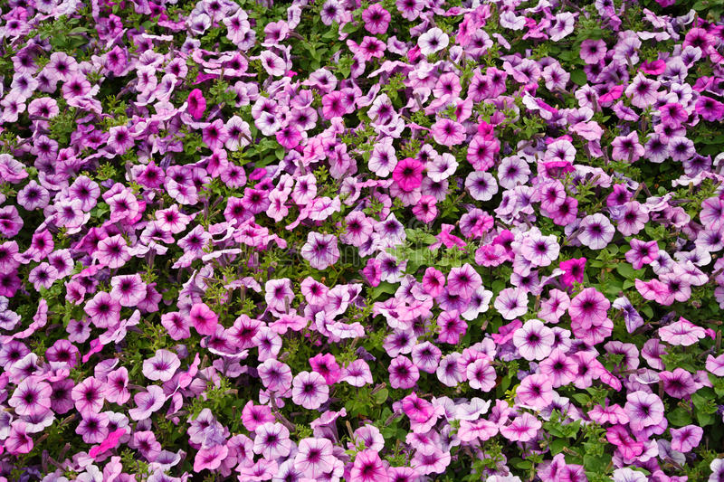 Download Petunia stock photo. Image of people, plant, aroma, background - 15743816