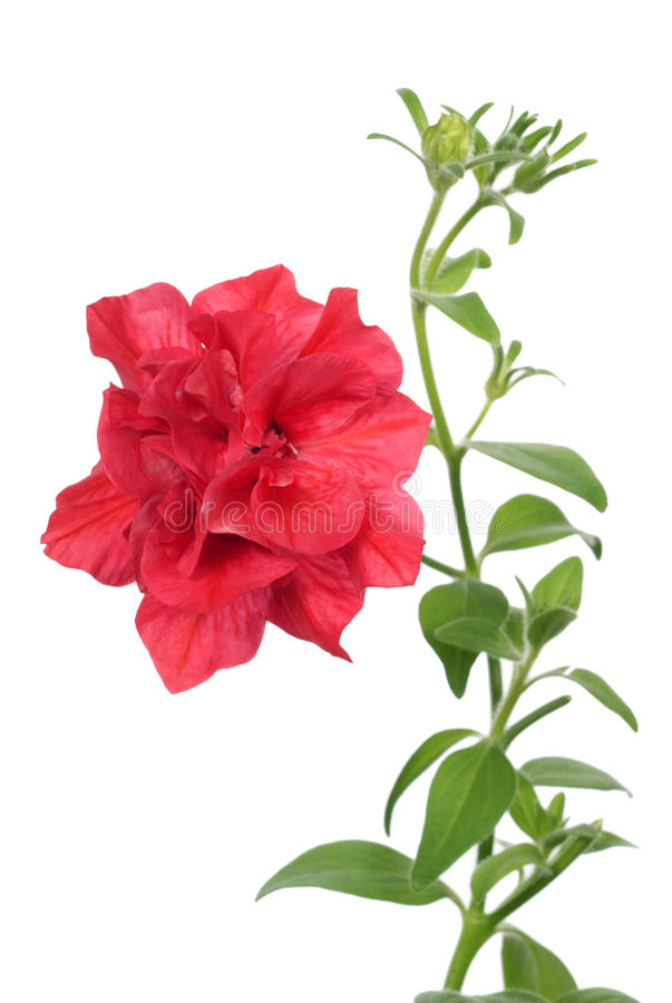 Download Petunia stock photo. Image of nature, beauty, delicate - 16747318