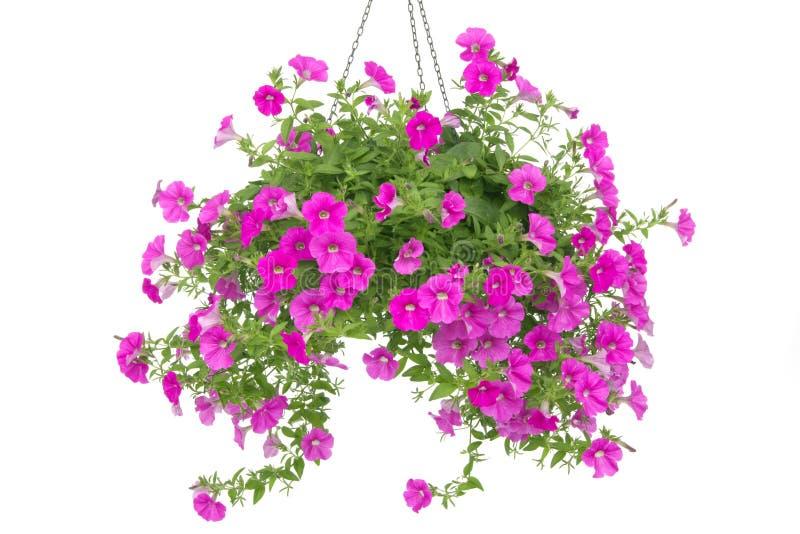 Petunia royalty-vrije stock foto's