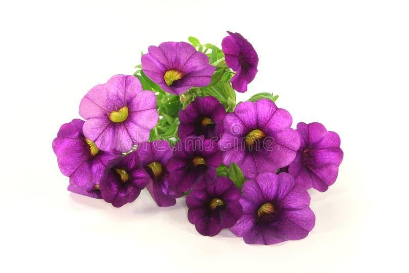 Petunia stock fotografie