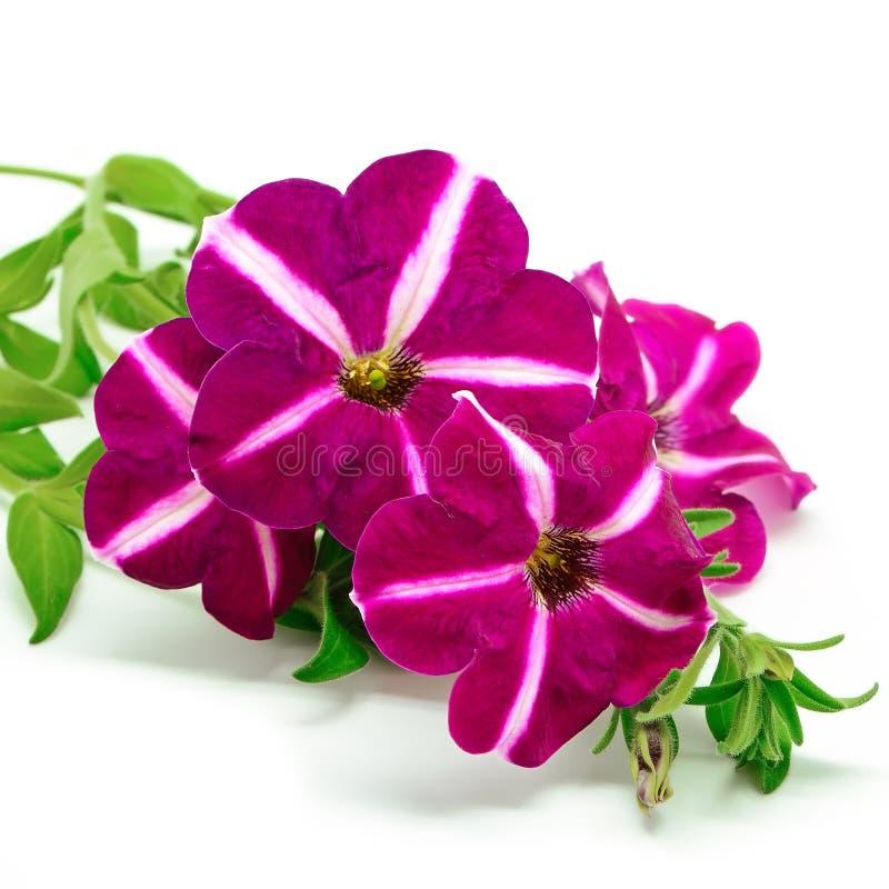 Petunia royalty-vrije stock foto