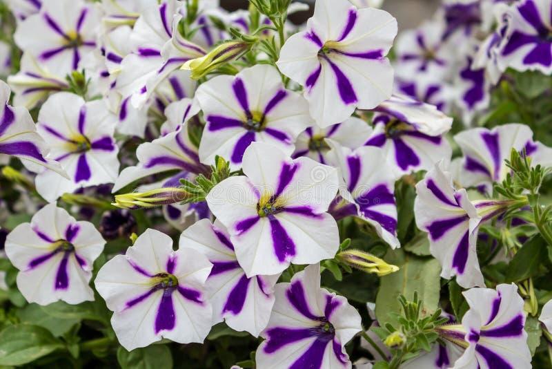 Petunia zdjęcie stock