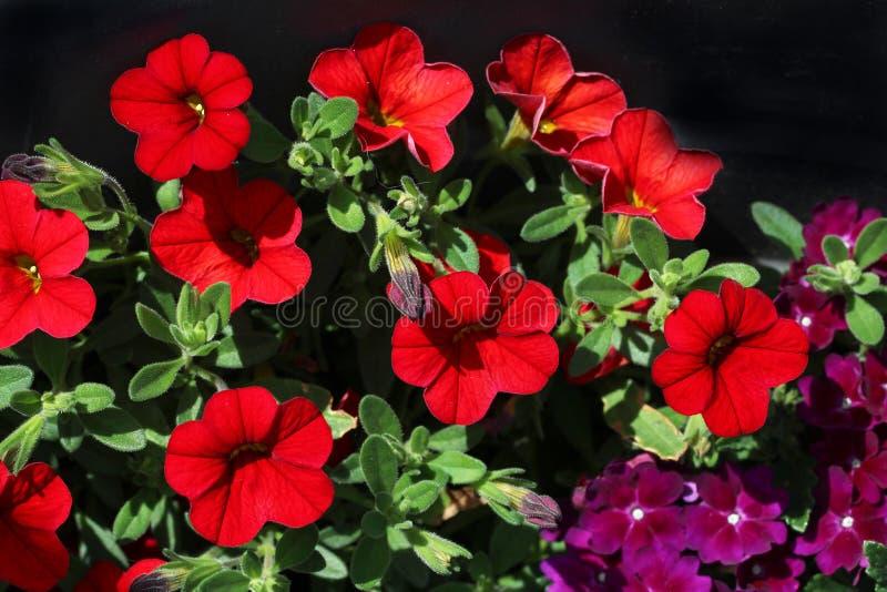 petunia stock afbeelding