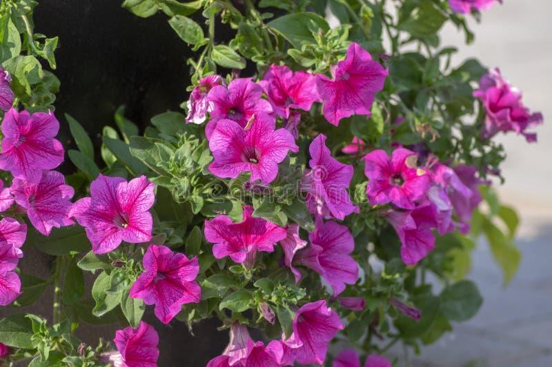Petunia atkinsiana hybrida grandiflora bright pink purple flowers in bloom, balcony flowering plant, green leaves. Petunia atkinsiana hybrida grandiflora bright stock image