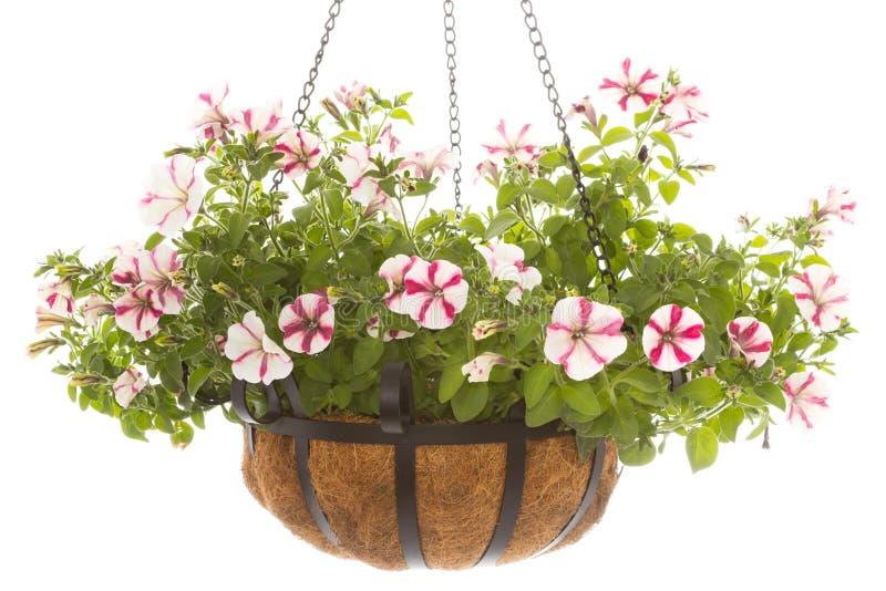 Download Petunia In Basket Stock Images - Image: 25377564