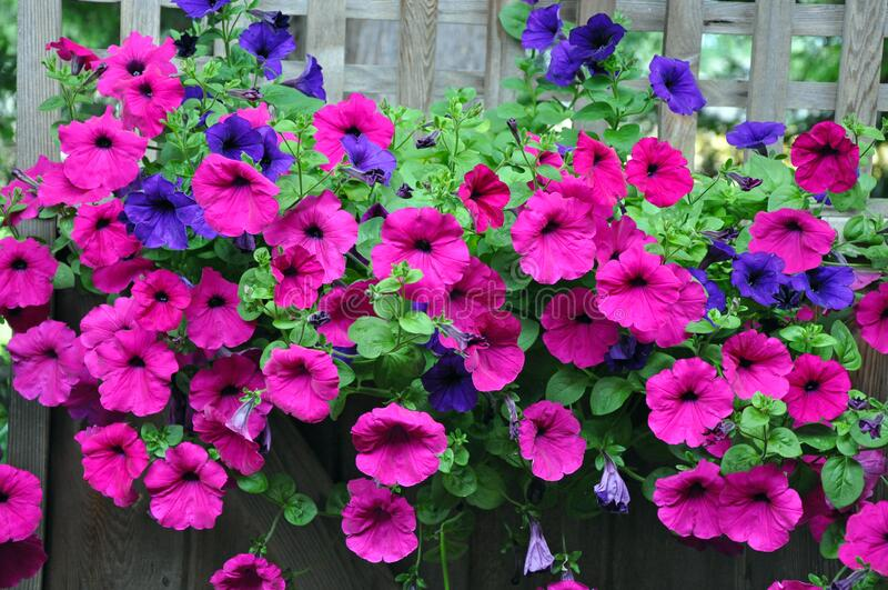 Purple petunia beauty stock image