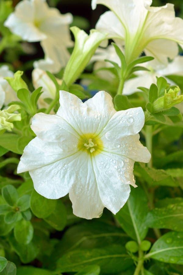 Download Petunia Bianca Con Le Gocce Di Pioggia Fotografia Stock - Immagine di gocce, pioggia: 117981448