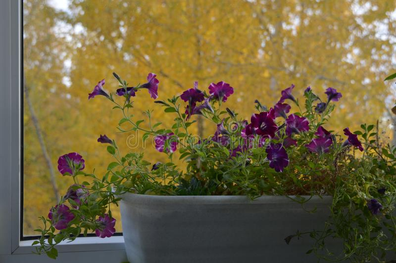 Petunia in container on the background of yellow foliage of trees outside the window. Small flowering garden on the balcony. In autumn royalty free stock images