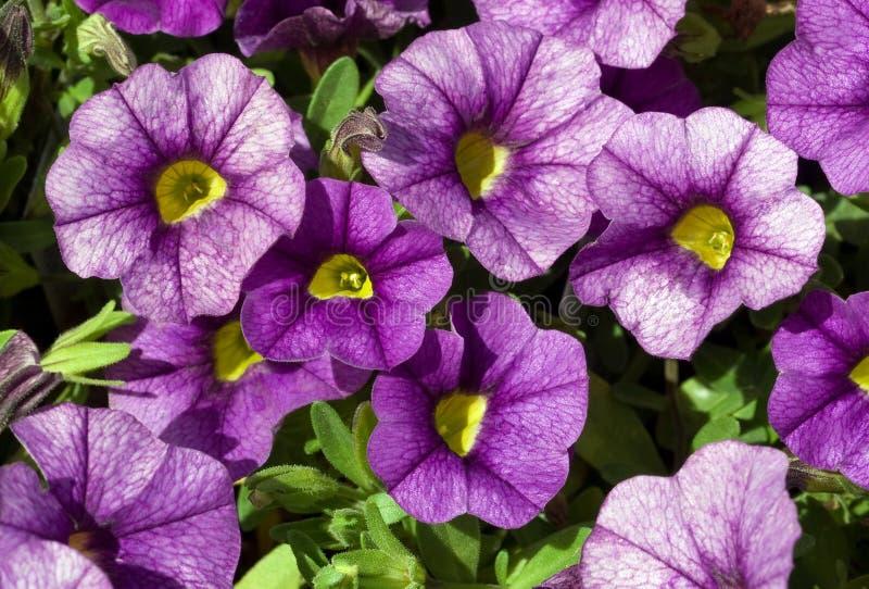 Petunia de arrasto roxo imagens de stock