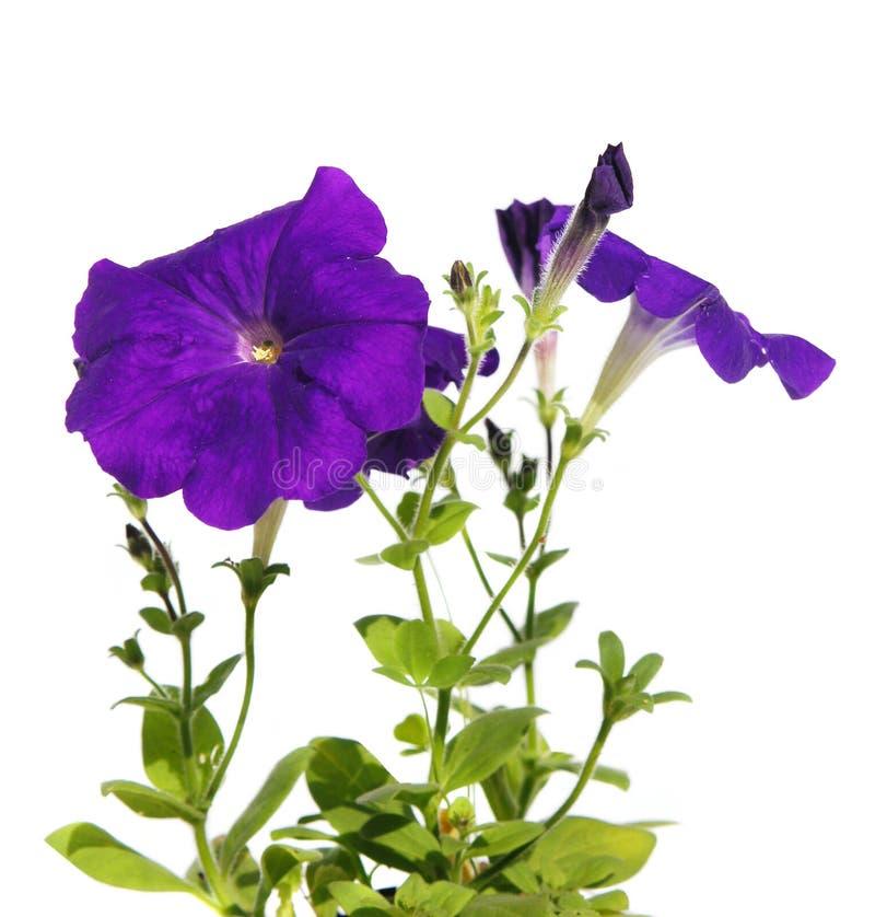 Petunia de la flor fotografía de archivo libre de regalías